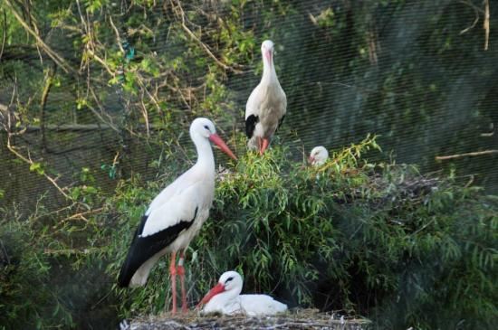 Kintzheim, França: La cigogne blanche d'Alsace