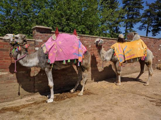 Joseph's Amazing Camels: Getting Ready