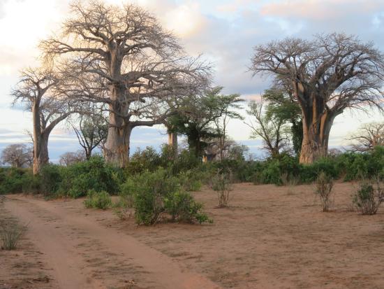 Chiredzi, ซิมบับเว: Some big Baobabs