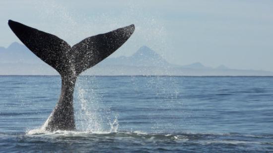 Gordon's Bay, Republika Południowej Afryki: Whale Watching