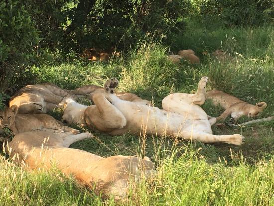 Lion Trails Safaris - Day Tours: Lion pride resting