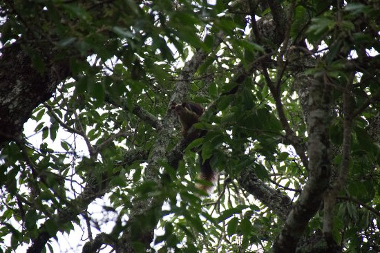 Yelandur, India: Malabar Squirrel