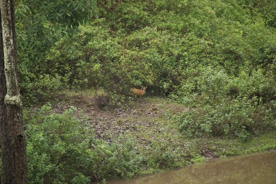 Yelandur, India: Barking Deer