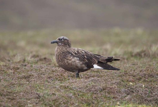 "Great Skua or ""Bonxie"" - Picture of Fair Isle Lodge & Bird ..."