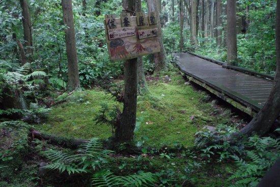 Nyuzen-machi, Japão: 沢スギの伏条更新