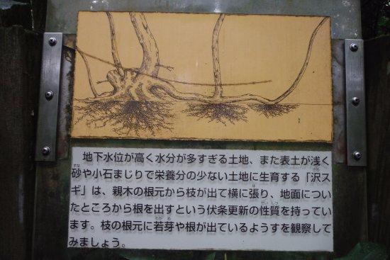 Nyuzen-machi, Japão: 沢スギの伏条更新の案内書き