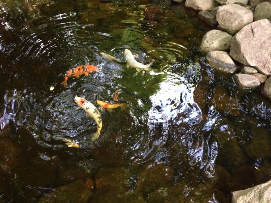 Lena, WI: Koi purchased from Midwest Koi