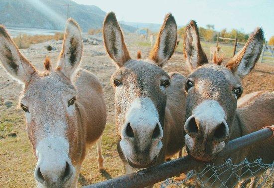 Okanogan, วอชิงตัน: Donkeys