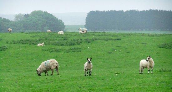 Biker's Delight : more sheep