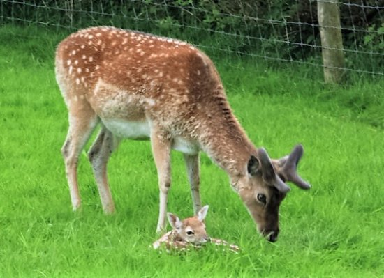 Arthurstown, Irland: Fawn with Dad