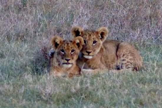 Porini Rhino Camp: Lion Cubs pose for photo!
