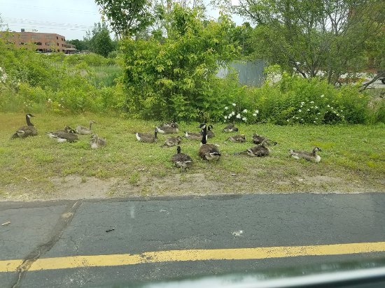 Lexington, MA: Geese and babies on the property.  Please be careful