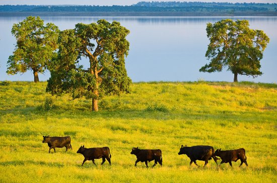Cattle Pasture, Camanche Resovoir, Ione