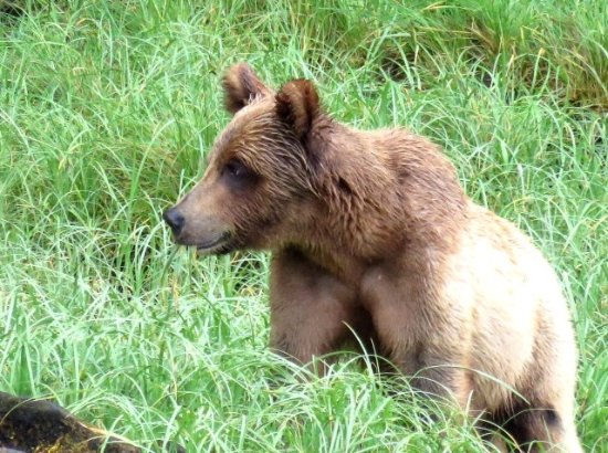 Khutzeymateen Grizzly Bear Sanctuary: Feeding on Sedge grass which is high in protein
