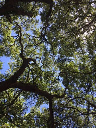 Charleston Tea Plantation : Looking up from the park bench. It's a very peaceful place.