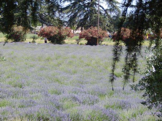 Cherry Valley, Califórnia: Lavender field