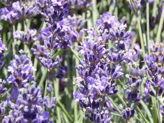 Cherry Valley, Kalifornien: Lavender close up