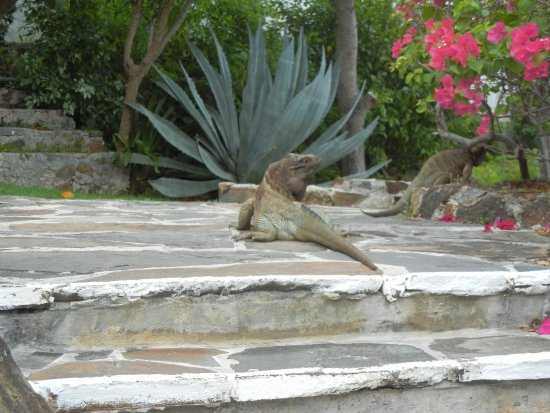 Guana Island: An Iguana on the path to our room