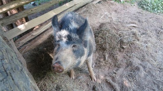 National Colonial Farm: Heritage breed pig