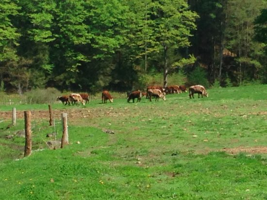 Robb Family Farm : Pasture raised beef cattle graze on summer grass.