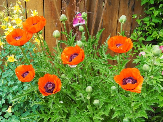 Shangarry Bed and Breakfast: Poppy flowers in the garden