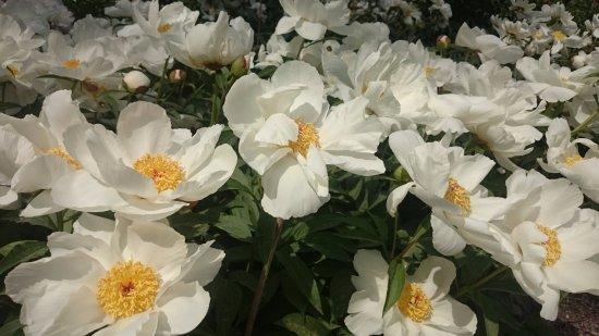 Matthaei Botanical Gardens: Peony flowers