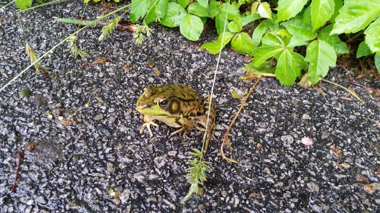 Mansfield, MA: Frog