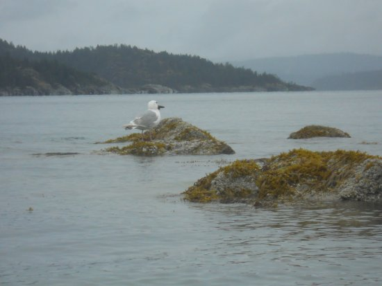 Heriot Bay, Canadá: Sea Gulls eat starfish? Who knew?