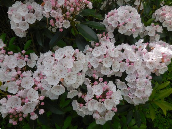 Sigel, PA: Pale pink blooms
