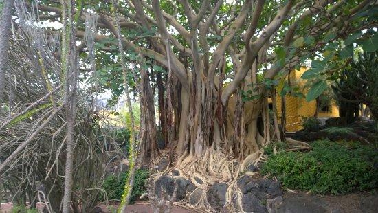 Fikus picture of jardin botanico viera clavijo las palmas de gran canaria tripadvisor - Jardin botanico las palmas ...
