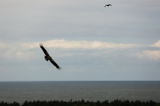 Ilwaco, WA: Golden Eagle being harassed by a Raven.