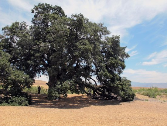 Cherry Valley, CA: !000 year old oak tree, notice the person in its shadow, for a sense of scale