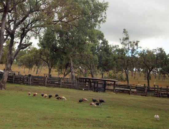Ravenshoe, Australië: Turkeys roaming around homestead area