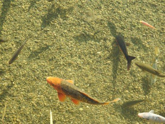 Saint-Ferriol, Francia: Le bassin et ses poissons