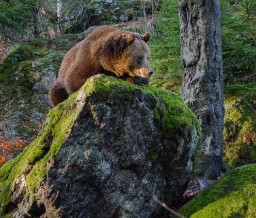 Grafenau, Nemecko: Braunbär im Tierfreigelände Neuschönau, Nationalpark Bayerischer Wald