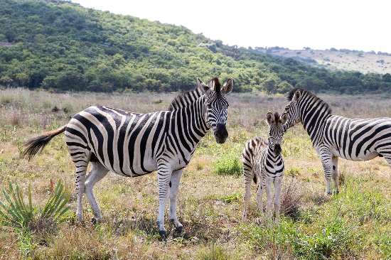 Thaba Eco Hotel: Zebras on property