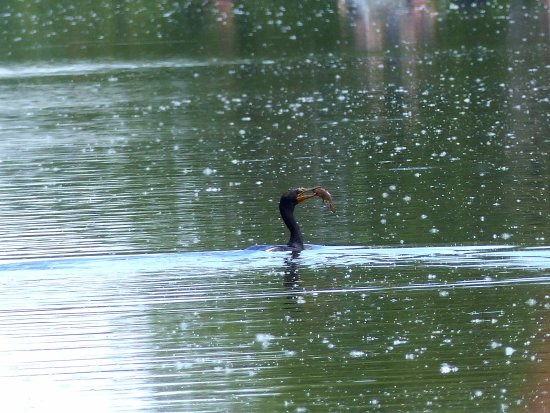 Horicon, WI: Cormorant fishing