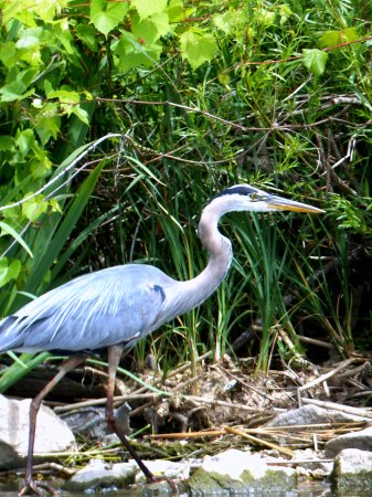 Horicon Marsh Boat Tours- Day Tours: Great Blue Heron
