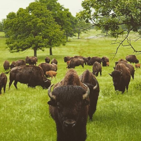 Woolaroc Museum & Wildlife Preserve: Bison on the grounds