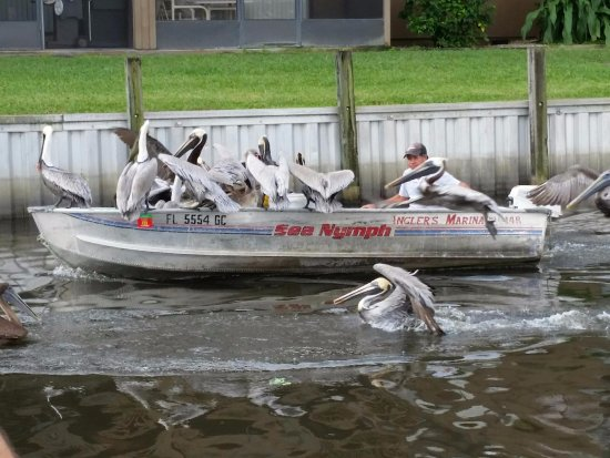 Roland Martin's Marina and Resort: The pelicans know the bait guy well lol