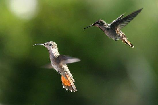 Trinidad and Tobago: HummingBird