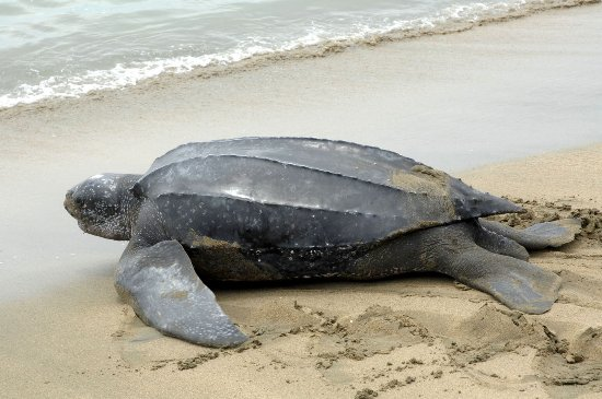 Trinidad and Tobago: Leather Back Turtle returning to sea