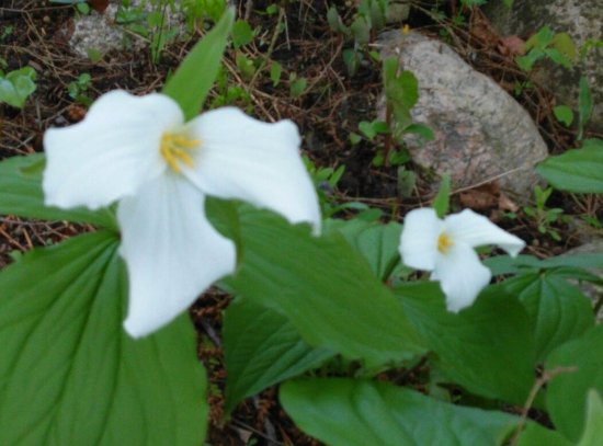 Terrace Inn and 1911 Restaurant: Victorian cottages and trillium flowers in spring