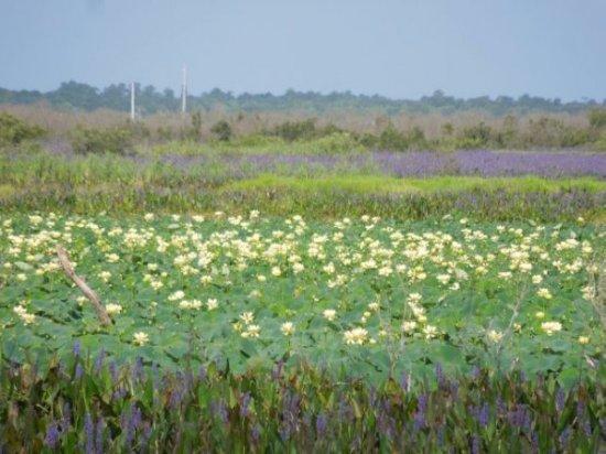 Pickleweed and American Lotus on Paynes Prairie