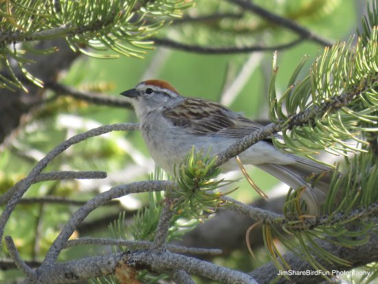 Moffat, CO: Chipping Sparrow