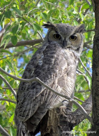 Moffat, CO: Great Horned Owl