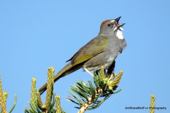 Moffat, Kolorado: Green Tailed Towhee