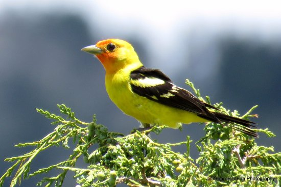 Moffat, CO: Western Tanager