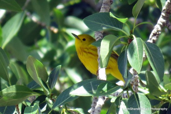 Moffat, CO: Yellow Warbler