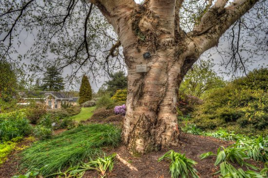 Royal Botanic Garden Edinburgh: Betula Albasinensis (Chinese Red Birch) In  The Royal Botanic